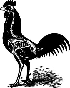 free-vector-chicken-skeleton-clip-art_118937_Chicken_Skeleton_clip_art_hight